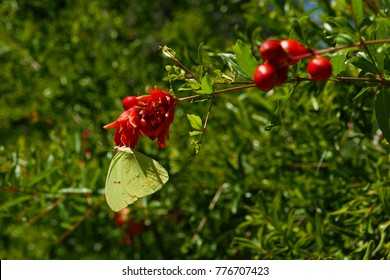 Cloudless sulphur  (phoebis sennae) on a pomegranate flower