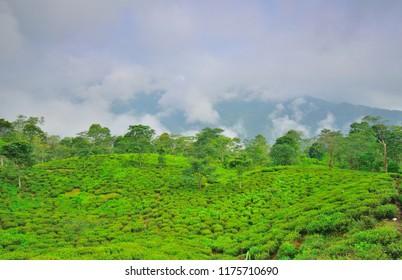 Clouds covering tea gardens in teesta valley tea estate.