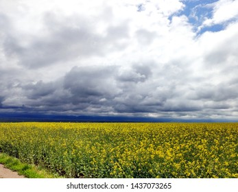 Clouds drifting over rapeseed fields along the E574 road near the municipality of Dalnic in Covasna County, Romania - Shutterstock ID 1437073265