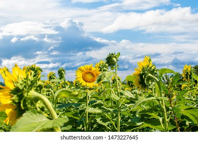 Clouds rise above a field of sunflowers