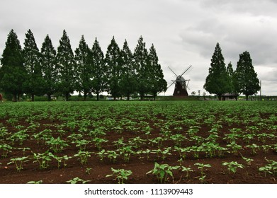 Cloudy dusk of day, Akebono mountain agricultural park flower field and windmill,  Hydrangea. Kashiwa City, Chiba Prefecture, Japan.