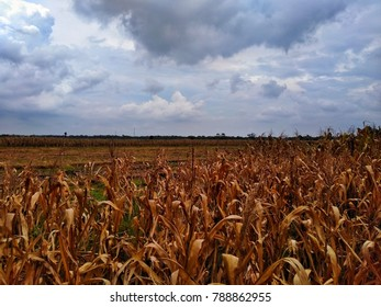 Cloudy old cornfield