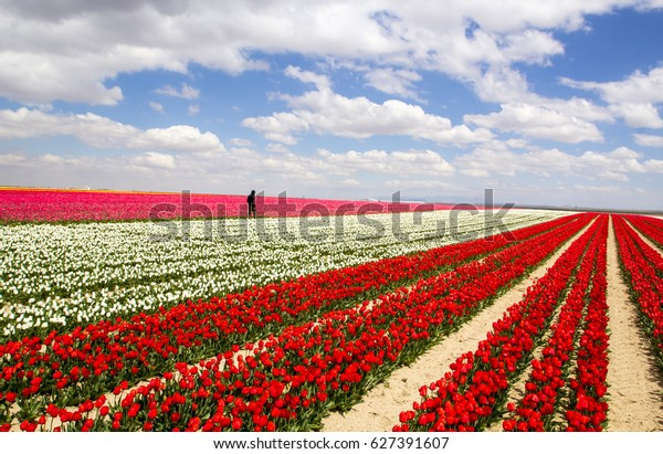 cloudy sky and colorful tulip field spring, yellow, red, purple, white, pink tulips fields