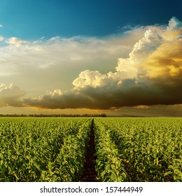 cloudy sunset over field with sunflowers