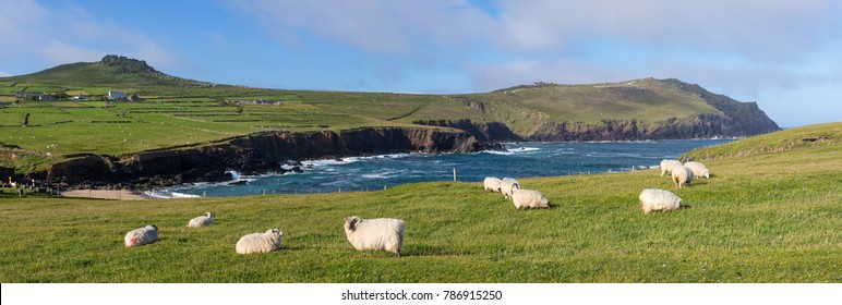 Clougher bay with sheep at Slea Head Drive,  one of Irelands most scenic routes, Dingle peninsula, Kerry, Ireland