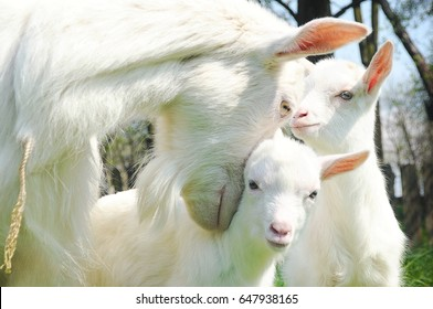 Clouseup of three white goats standing among green grass on a warm spring day. Family of a mother and her two children resting and spending time together. Mother hugs her children