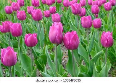 Clouse-up of tulips Fleming Flag (purple) planted on the Singing Field park. April 27, 2018. Kiev, Ukraine