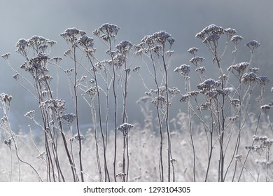 Clousup grass in the Frost background
