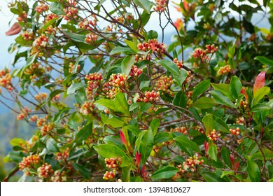 Clove tree with blooming  flowers, fresh green leaves and red raw buds growing in Indonesia. Tropical plants, natural food spices, producing aromatic ingredients and oil in mountains plantations.