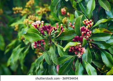Clove tree with blooming  flowers and fresh green and red raw sticks growing in Bali mountains. Tropical plants, natural food spices, producing aromatic ingredients and oil in Indonesian plantations.