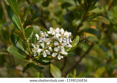 Cloven Gum Box White Flower Buds Stock Photo Edit Now 1198526836