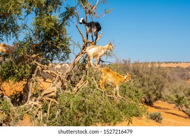 Cloven-hoofed goats climbed on an argan tree (Argania spinosa) on a way to Essaouira, Morocco, North Africa