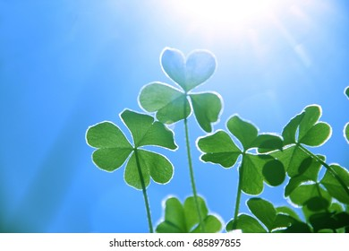 Clover with the background of sky and sunshine.