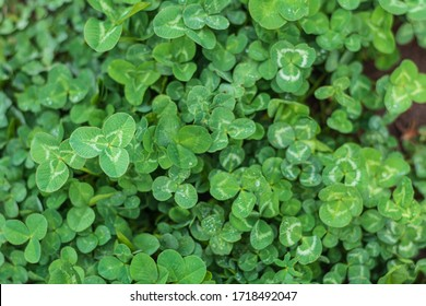 Clover Cover Crop Plants with Prominent Clover