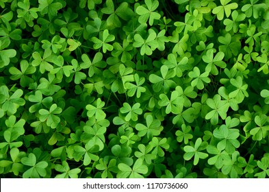 Clover field background suitable for Saint Patrick's Day, nature concept,  Trifolium field