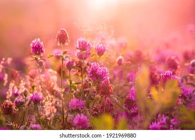 The clover field is bathed in soft sunlight. Wild pink flowers and fresh herbs in the early morning. Blurred background