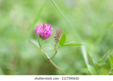 Clover flower blooming in nature