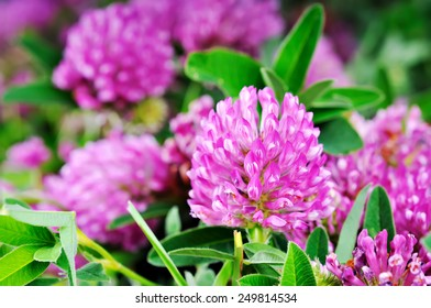 Clover flower close up on a background of green foliage.