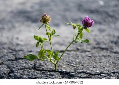 Clover flower cracked city asphalt, craving for light, plant power