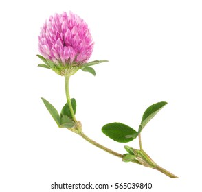 Clover flower on a stem with green leaves, isolated on white background
