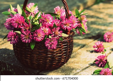 Clover flowers in a basket. Herbs harvesting of medicinal raw materials