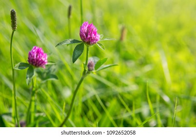 Clover flowers in grass isolated.
