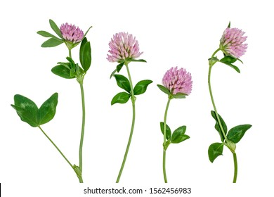 Clover flowers isolated on white.