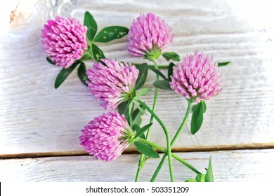 clover flowers on white background