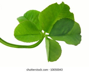 Clover of four leaves isolated on white background