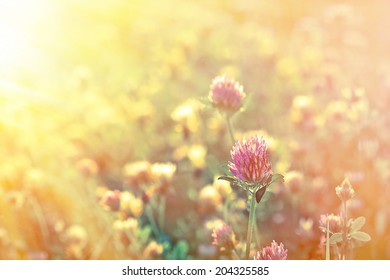 Clover in late afternoon (clower in meadow)