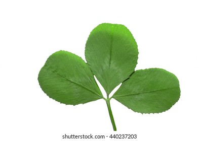 clover leaf isolated on the white background