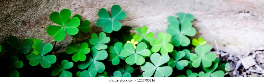 Clover Leaves for Green background with three-leaved shamrocks. St. Patrick's day holiday symbol.
