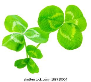 clover leaves isolated on white background 1:1 macro lens shot