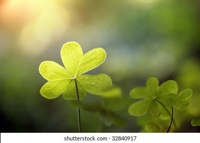 Clover in natural environment, close-up, shallow DOF.