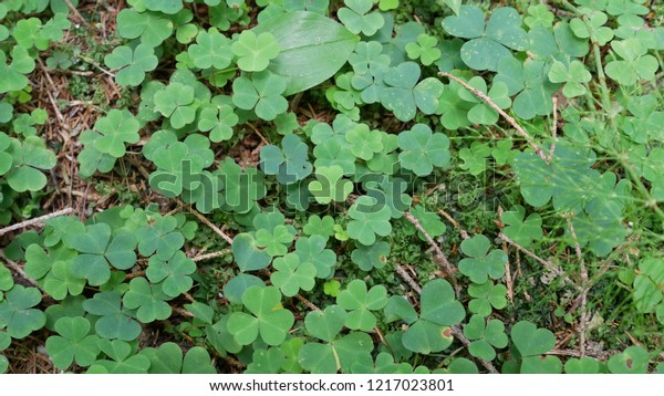 Clover on the ground.