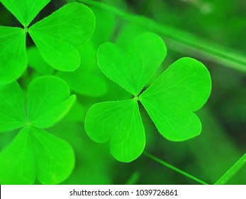 Clover petals, gentle green background, soft focus. St. Patrick's day holiday symbol.