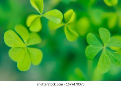 Clover plant macro shot, green backgound blured