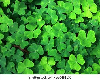 clover, trefoil, shamrock green leaves background