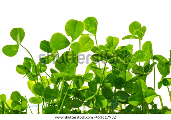 clover with white background, blank place