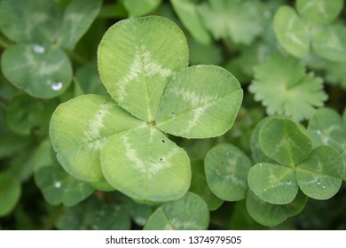 Cloverleaf background. Cloverleaf plants in the meadow