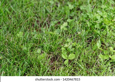 Cloverleaf in a green lawn