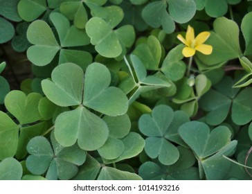 Clovers growing in Florida