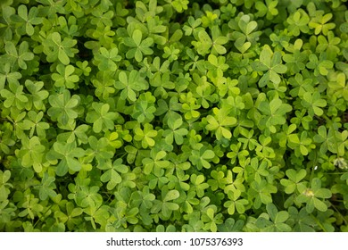 Clovers, trefoil, shamrocks fresh flora outdoors. Green nature background, top close up view.