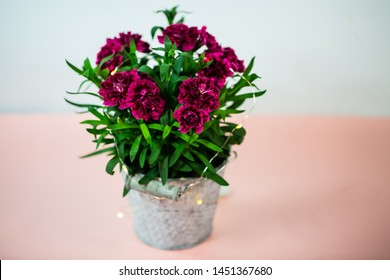 Cloves (Dianthus) in small pot on pink underground, birthday greeting