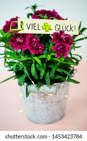 Cloves (Dianthus) in small pot on pink underground, birthday greeting, good luck = viel Glück
