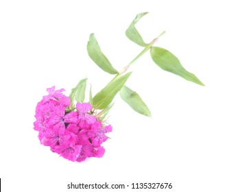 cloves flowers on a white background
