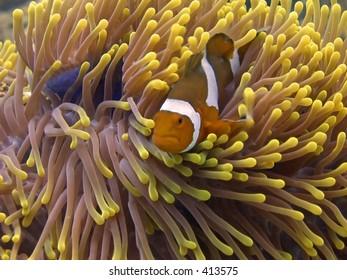 Clown anemone fish in Malaysian waters off Perhentian Island