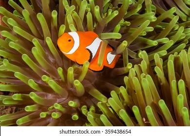 Clown Anemone fish, Nemo fish, fish, Anemone fish, cute fish, orange and white strip, reef fish, Ocellaris clownfish, Amphiprion ocellaris