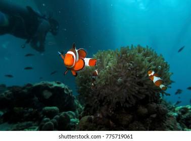 Clown Anemone fish, samal island, philippines