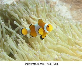 clown anemonefish above its anemone